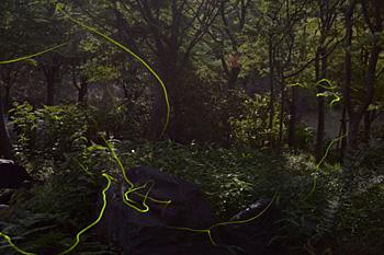 Fireflies emitting light as they fly around the stream (Uji City Botanical Gardens, Hirono-cho, Uji City, Kyoto Prefecture)