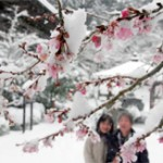 Snow-covered pale pink blossoms of winter cherry trees have opened (Kongorin-ji Temple, Aisho-cho Matsuo-ji, Shiga Prefecture)