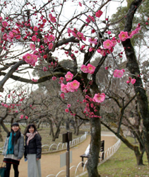 Plum blossoms have begun flowering here and there in the severe cold conditions (2:00 p.m., February 9, Kitano Tenman-gu Shrine, Kamigyo Ward, Kyoto)