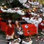 Pink-tinted precocious double cherry blossoms start blooming (March 12, Kurumazaki Shrine, Ukyo Ward, Kyoto)