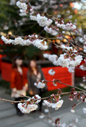 Pink-tinted precocious double cherry blossoms start blooming (March 12, Kurumazaki Shrine, Ukyo Ward, Kyoto)