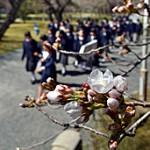 "Blossoming ""Someiyoshino"" cherry trees under the warm spring sunshine (March 22, Nijo Castle, Nakagyo Ward, Kyoto)"