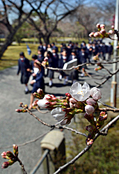 "Blossoming ""Someiyoshino"" cherry trees under the warm spring sunshine (March 22, Nijo Castle, Nakagyo Ward, Kyoto)"
