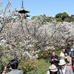 Omuro cherry blossoms reach full bloom ten days earlier than last year (April 8, Ninna-ji Temple, Ukyo Ward, Kyoto)