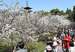 Omuro cherry blossoms reach full bloom ten days earlier than last year (April 8, Ninna-ji Temple, Ukyo Ward, Kyoto)