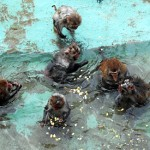 Photo = Rhesus monkeys soaking in hot water (January 2012, Kyoto City Zoo, Sakyo Ward, Kyoto)