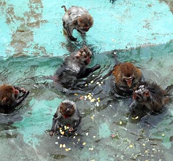 Photo = Rhesus monkeys soaking in hot water (January 2012, Kyoto City Zoo, Sakyo Ward, Kyoto)