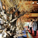 Photo= Visitors admire blooming plums in the hall filled with their sweet fragrance (January 17, Keiunkan, Nagahama City, Shiga Prefecture)