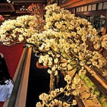 Photo= A visitor enjoying illuminated plum bonsai in full bloom (February 8, Keiunkan, Minato-cho, Nagahama City, Shiga Prefecture)