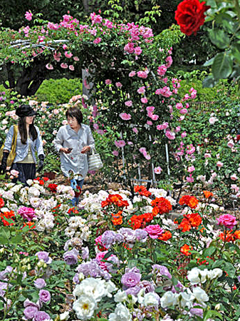 Photo= Garden visitors look around at roses in full bloom (May 18, Moriyama Rose and Herb Garden in Sazukawa-cho, Moriyama City)