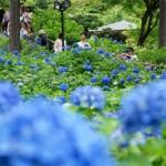 Photo= Visitors enjoying the brilliant blue hydrangeas (Mimurotoji Temple, Todo, Uji City, Kyoto Prefecture)