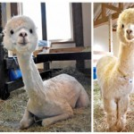 Photo= Happy (right) and Candy (left) show their slender builds after having their hair shorn as a prevention measure against the heat. The right photo shows their winter appearance (Blumen Hugel, Hino Town, Shiga Prefecture)