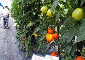 "Photo= Tomatoes in the ""Phyto Rich"" series have increased nutritional value through cultivar improvement (Takii Plant Breeding and Experiment Station, Hari, Konan City, Shiga Prefecture)"