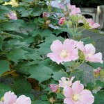 Photo= Cotton roses at their peak throughout the temple precincts (Shanain Temple, Nagahama City, Shiga Prefecture)
