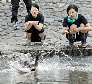 Photo= Cormorant fishers on the riverside watching the junior cormorant swimming vigorously while beating its wings (Uji River, Uji City, Kyoto Prefecture)