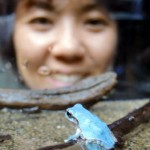 Photo= The mutant, blue Japanese tree frog (Kyoto Aquarium, Shimogyo Ward, Kyoto)