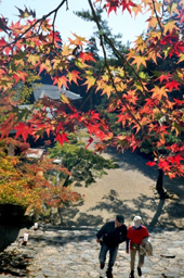 Photo= Maple leaves starting to faintly turn red (October 28, Jingoji Temple, Ukyo Ward, Kyoto)
