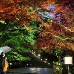 Photo= Visitors enjoy illuminated maple leaves in the gentle rain (5:15 p.m., November 11, Hiyoshi-taisha Shrine, Sakamoto 5-chome, Otsu City, Shiga Prefecture)