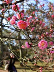 Photo= Around 30-40% of the early-flowering red plum blossoms are blooming, wafting a sweet and tangy floral scent (December 22, Kyoto Gyoen National Garden, Kamigyo Ward, Kyoto)
