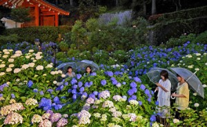 Photo= Hydrangeas magically appear amid the darkness during the illumination test (June 9, Mimurotoji Temple, Todo, Uji City, Kyoto Prefecture)
