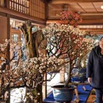Photo= Visitors staring raptly at plum buds that are beginning to open (January 6, Keiunkan, Minato-cho, Nagahama City, Shiga Prefecture)