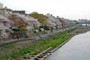 Photo= The Kamo River's left bank developed as a floral path by Kyoto Prefectural Government. It is illuminated while cherry blossoms are in bloom (Higashiyama Ward, Kyoto)