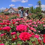 Photo= The rose garden with colorful flowers in full bloom (Blumen Hugel Farm, Nishioji, Hino Town, Shiga Prefecture)