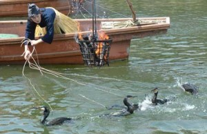 "Photo= A cormorant fisher checks the cormorants' condition while adeptly handling the leads during the public training for ""Ukai on the Uji River"" (Uji, Uji City, Kyoto Prefecture)"