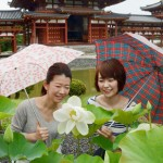 "Photo= Large flowered ""Byodo-in Basu"" lotuses are blooming against the Phoenix Hall (Byodo-in Temple, Uji City, Kyoto Prefecture)"
