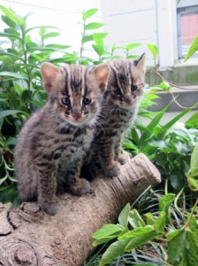 Photo= Two Tsushima leopard cat kittens living together in the breeding facility at the zoo (courtesy of Kyoto City Zoo)