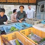 In some parts of Kyoto, season's crop still the old-fashioned way - by hand