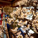 Photo= Plum flowers bloom sweetly (1:00 p.m., January 9, Keiunkan, Minato-cho, Nagahama City, Shiga Prefecture)