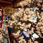 Photo= Plum flowers bloom sweetly (1:00 p.m., January 9, Keiunkan, Minato-cho, Nagahama City, Shiga Prefecture)