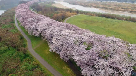 Photo= Rows of Yoshino cherry trees on the Sewaritei bank photographed with a drone. Beyond the rose-pink belt, the Keiji By-pass road and Yamashiro area cityscape can be seen (Shot on April 7, 2017, Yawata, Yawata City, Kyoto Prefecture)