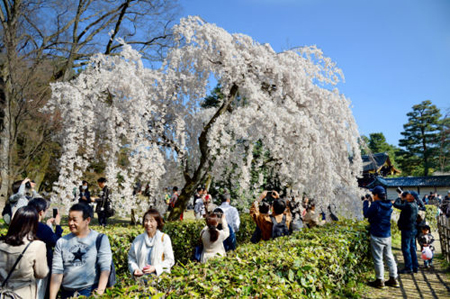 Photo= Visitors admire the full bloom of weeping cherry blossoms in the fine weather (March 24, Kyoto Gyoen National Garden, Kamigyo Ward, Kyoto)