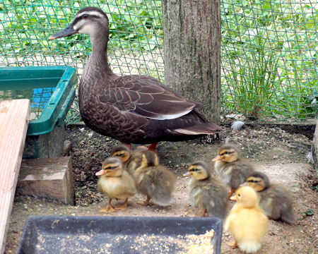 Photo= A Spotbill duck leads around adorable Call ducklings (Fukuchiyama City Zoo, Izaki, Fukuchiyama City, Kyoto Prefecture)