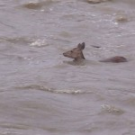 Photo= A deer is swimming in the muddy stream (Around 1:00 p.m., July 5, Takanogawa River, Sakyo Ward, Kyoto)