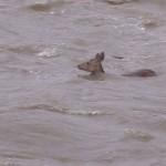 Photo= A deer is swimming in the muddy stream (Around 1:00 p.m., July 5, Takanogawa River, Sakyo Ward, Kyoto)