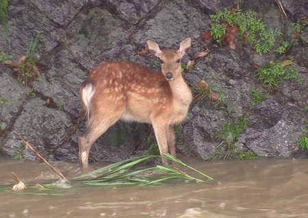 Photo= A deer was stranded by the swollen river due to the torrential rain (Around 11:00 a.m., July 5, Takanogawa River, Sakyo Ward, Kyoto)
