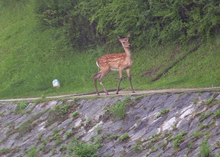 Photo= After swimming across the muddy stream, the deer stands at the riverside (Around 1:15 p.m., July 5, Takanogawa River, Sakyo Ward, Kyoto)