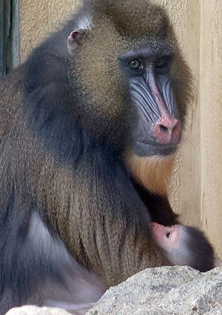 Photo= A baby mandrill is held in its mother's arms (Kyoto City Zoo, Sakyo Ward, Kyoto)