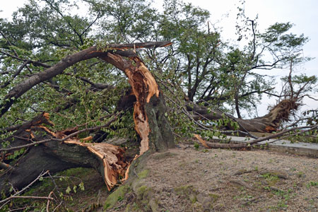 Photo= A cherry tree blown down by Typhoon Jebi (September 6, Yodogawa Riverside Park Sewaritei area, Yawata City, Kyoto Prefecture)