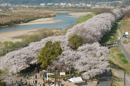 Photo= Rows of cherry trees in full bloom form an approximately 1.4-kilometer tunnel at the Sewaritei area in Yodogawa Riverside Park (photographed on March 31, from the observation tower at Sakura Deaikan, Yawata, Yawata City, Kyoto Prefecture)
