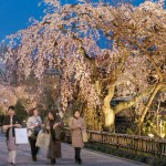 Photo= Illuminated cherry blossoms stand out from the night sky along the Shirakawa River (photographed on March 31, 2006, Shirakawa Minami Street, Higashiyama Ward, Kyoto)