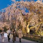 Photo= Illuminated cherry blossoms stand out from the night sky along the Shirakawa River (photographed on March 31, 2006, Shirakawa Minami Street, Higashiyama Ward, Kyoto)