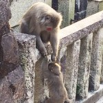 A monkey and its child that have been appearing frequently on Inariyama Mountain. They have been jumping on tourists and causing other incidents one after another (Kaidoguchi-cho, Fukakusa, Fushimi Ward, Kyoto)